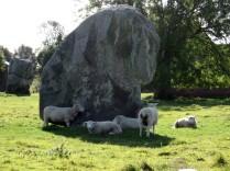 Sheep at Stone Circle in England