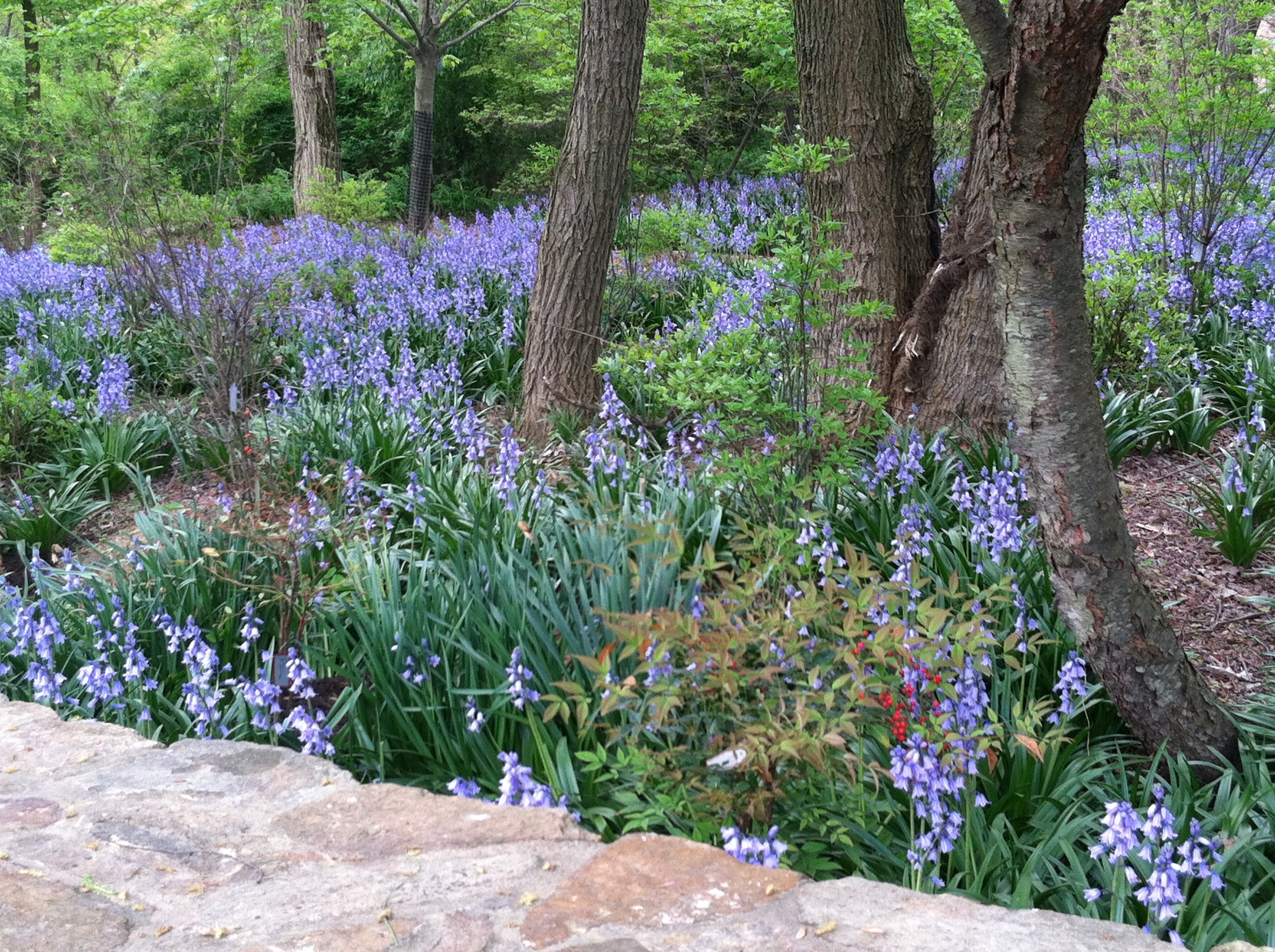 How to plant ground cover for shady areas - Spanish Bluebells