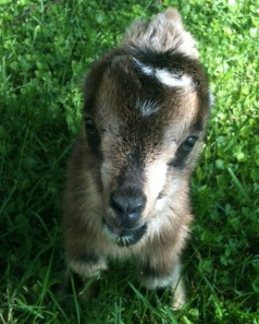 Adorable goat face