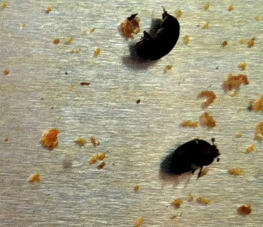 Dead beetles in the tray of oil that I catch them in