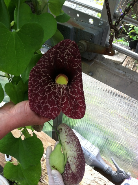 This Dutchman's Pipe is blooming inside of a greenhouse in October