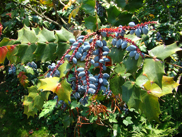 Blue black berries of Mahonia