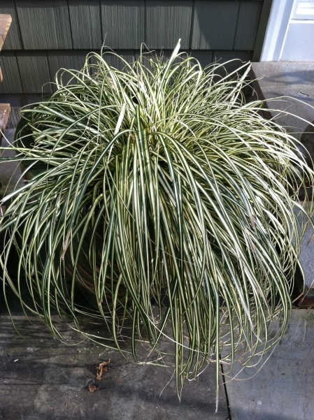 The graceful lines of the evergreen Carex 'Evergold' looks good all the time