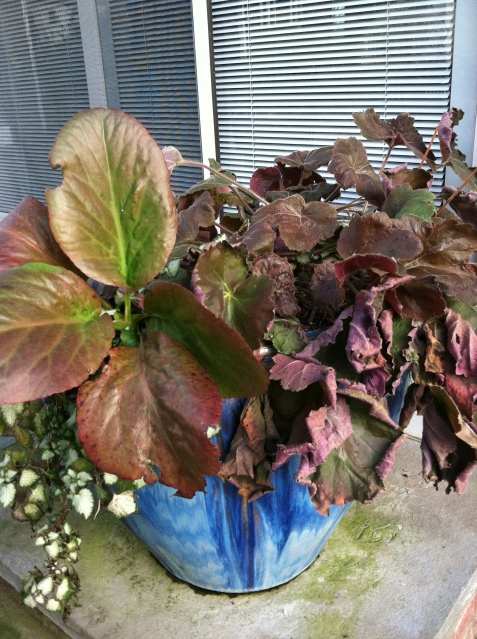 Bergenia with its large leaves has burgundy highlights in the Winter. Lamium is hanging down the side and 'Southern Comfort' Heuchera is on the right.