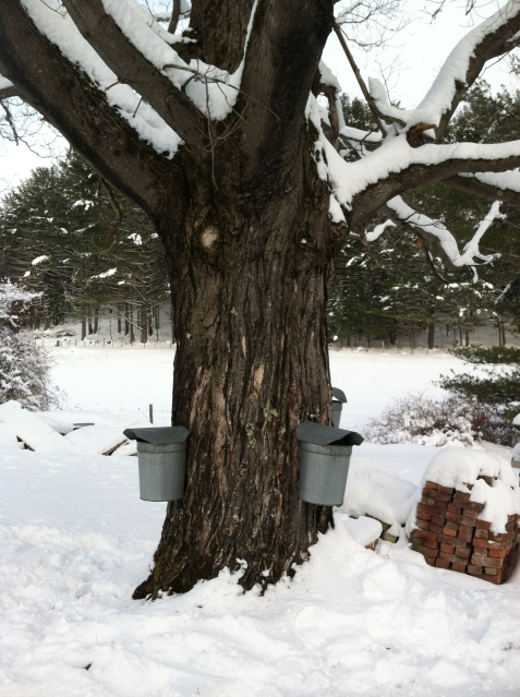 The old fashioned way of collecting Sugar Maple sap with buckets