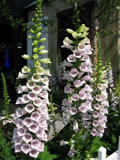 Beautiful Foxgloves!