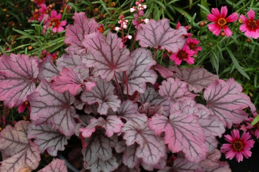 Sugar Berry Little Cutie Heuchera series- This one is my favorite