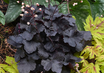 Coco Little Cutie Heuchera