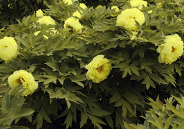 The coveted yellow tree peony