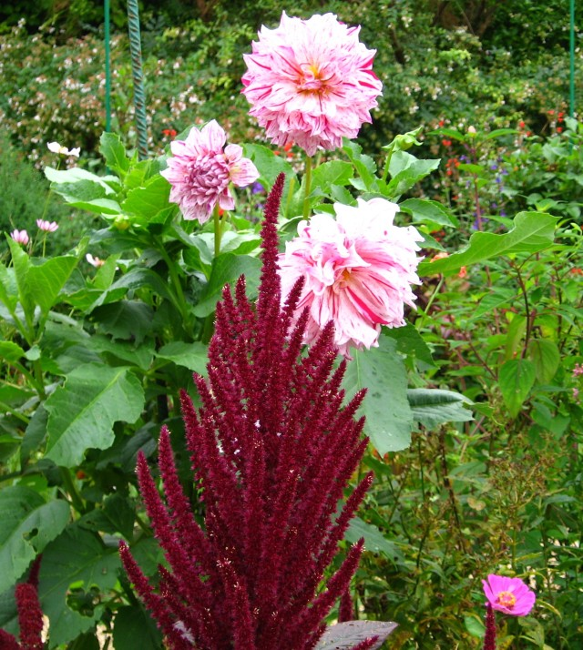 Amaranth in front of Dahlias at Giverny