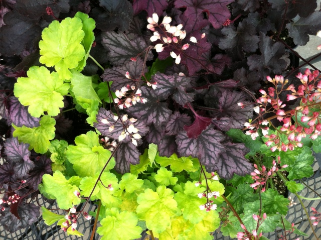 Flat of Llittle Cutie Heucheras