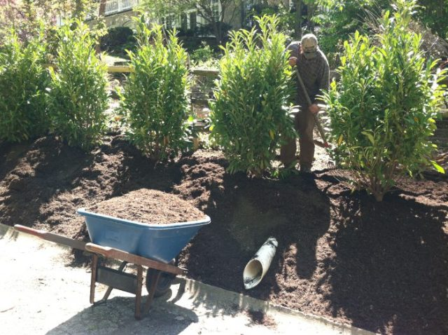 Planting the Cherry Laurels for a screen