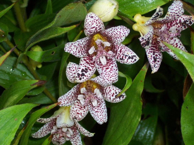 Toad Lily- bees love this in the fall