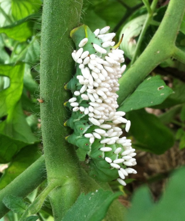 Parasitic larvae feeding on tomato hornworm