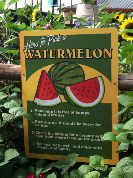 Watermelons growing at Epcot