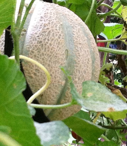 A hanging cantaloupe ready to pick