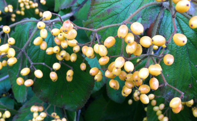 Michael Dodge Viburnum berries