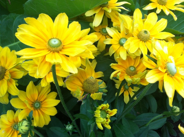 Rudbeckia hirta with green centers