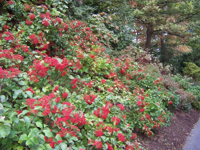Cardinal Candy  Viburnum covering a slope