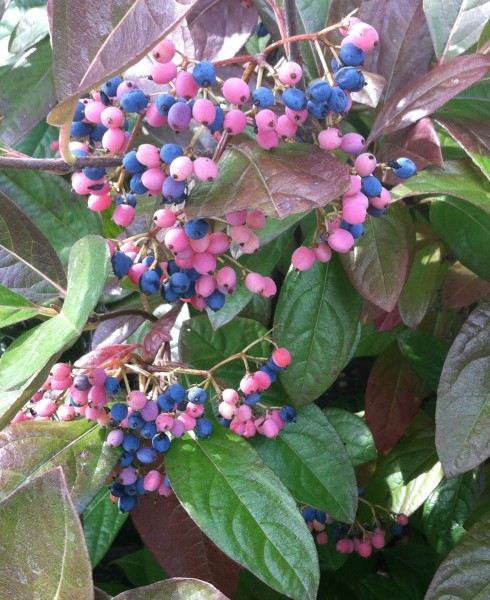Beauty of Winterthur viburnum berries; enjoy them before the birds get them!