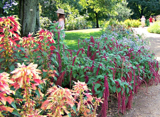 Amaranthus comes in all colors, including the foliage