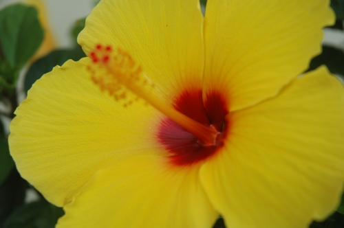 Tropical Hibiscus come into their own in the fall