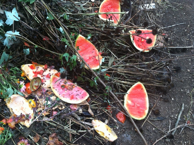 Compost pile full of watermelon rinds