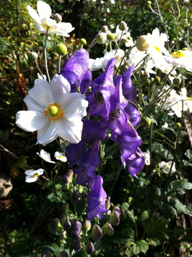 Monkshood with Honorine Jobert Anemone