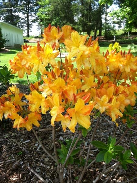 An Exbury Azalea in bloom