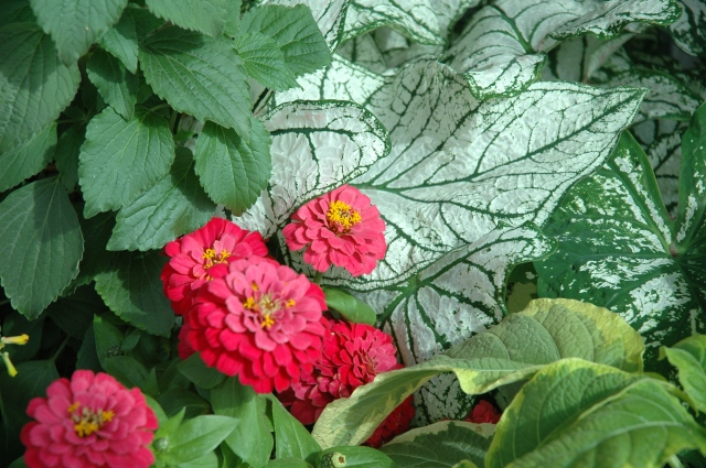 These Zinnias are showcased by the foliage