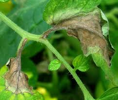 Diseased tomato plant
