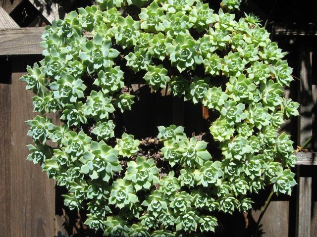 Succulent wreath from Rebecca Sweet's garden