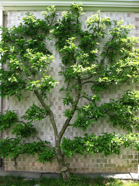 An espaliered tree needs expert pruning