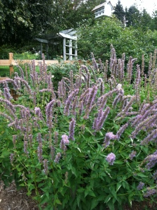 Stick to the old classics like Agastache Blue Wonder which butterflies and bees love
