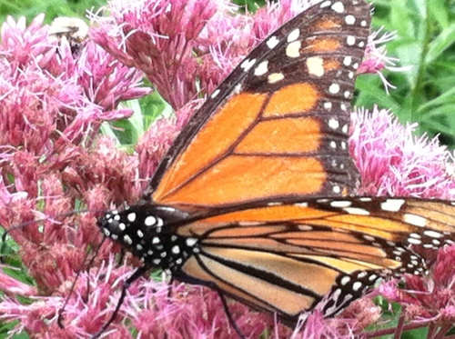 Plant Joe Pye Weed and other butterfly friendly plants in your yard
