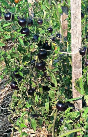 Black Tomatoes