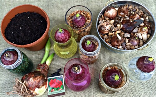 Variety of bulbs for forcing