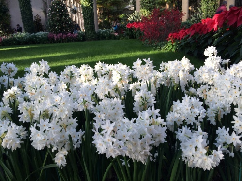 Ziva Paperwhites planted in mass in the Conservatory at Longwood Gardens