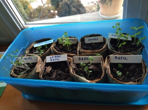 Once your seeds have germinated, move them under grow lights or in a bright window