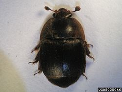 Small hive beetle, wikipedia