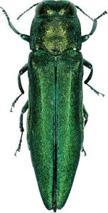 The emerald Ash Borer is a beautiful insect. but destructive, from Wikipedia