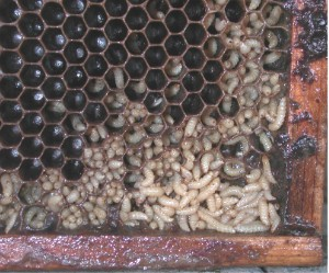 The larvae of the hive beetle makes a mess of a bee hive. Wikipedia