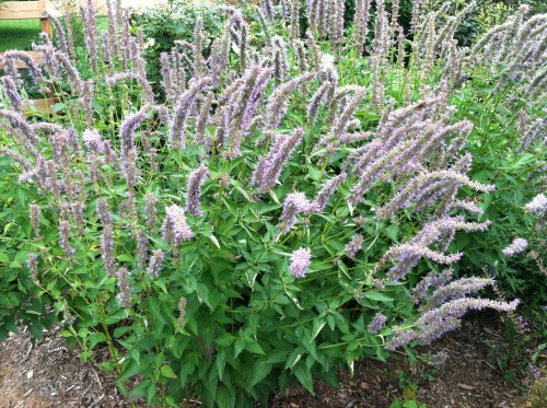 Anise Hyssop is one of the most important flowers for native bees in late summer