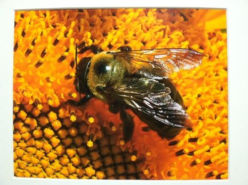 Bee pollinating sunflower