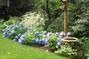 Big Leaved Hydrangeas, Nikko Blue