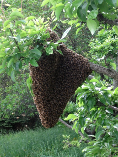 Bee Swarm, the natural reproduction of a honey bee hive