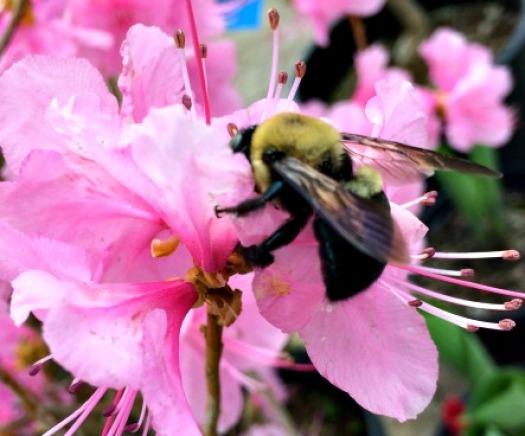 Bumble bee on Azalea blossom