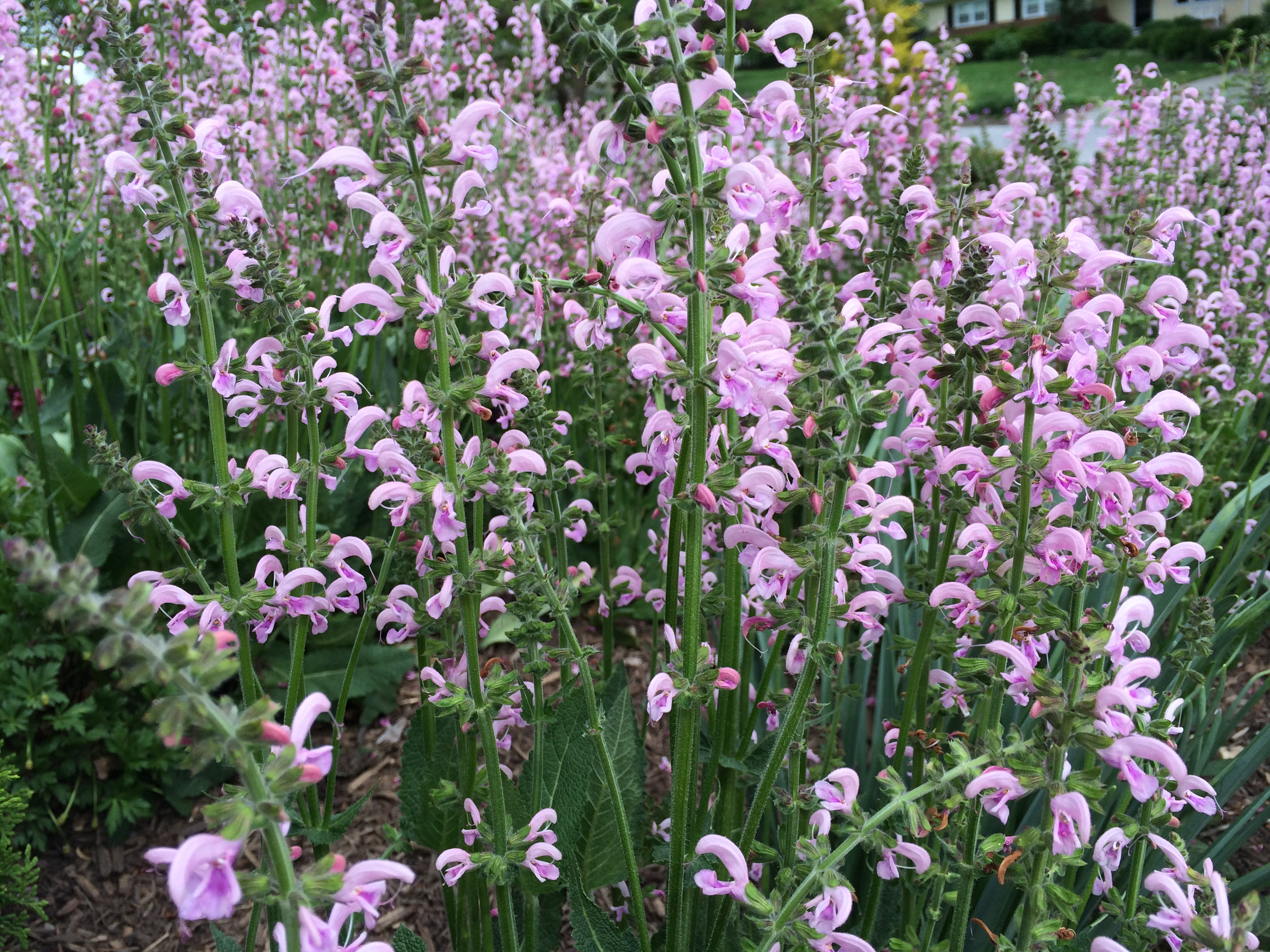Salvia Eveline, a hardy salvia that blooms all summer long ...