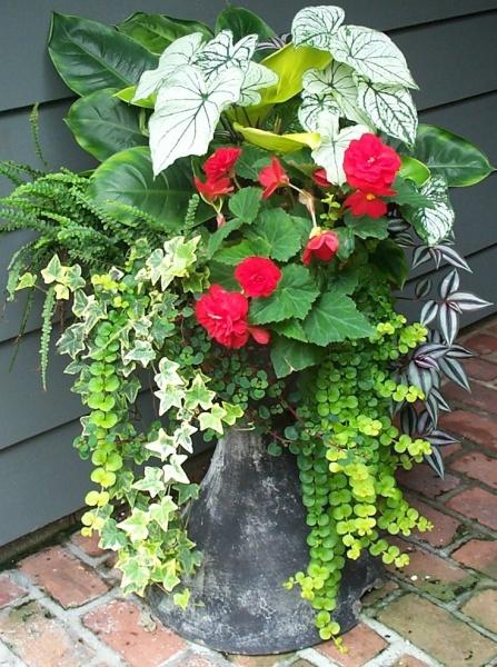Shade container, tuberous begonia, caladium, lysmachia, button fern, tradescantia, ivy