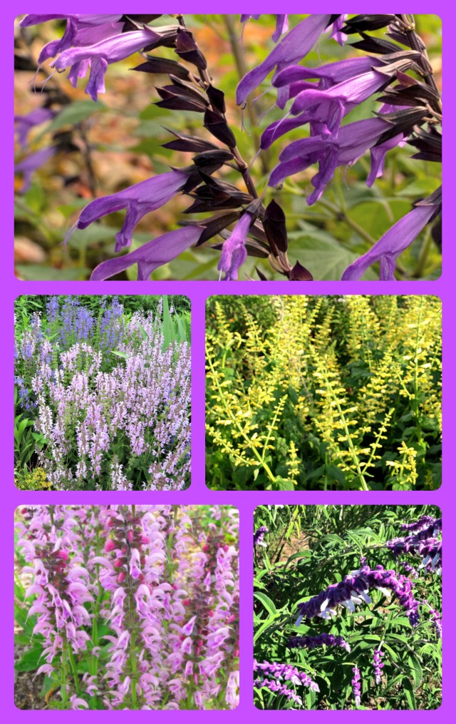 Wide variety of salvias